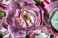 Purple petals2 (8219182960).jpg