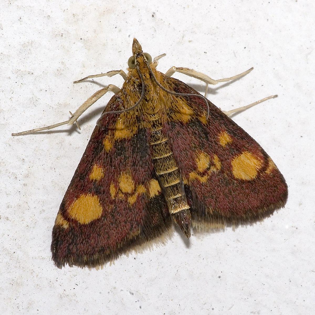 Small Moths In Kitchen