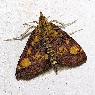 Mint moth Species of moth