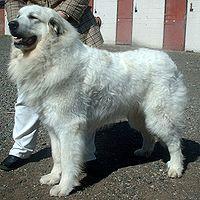 Pyrenean Mountain Dog 600.jpg