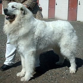 Pyrenean Mountain Dog 600.jpg