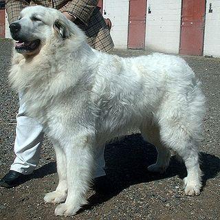 Pyrenean Mountain Dog Dog breed