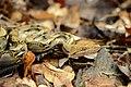 Python reticulatus, Reticulated python - Kaeng Krachan National Park (26588970776).jpg