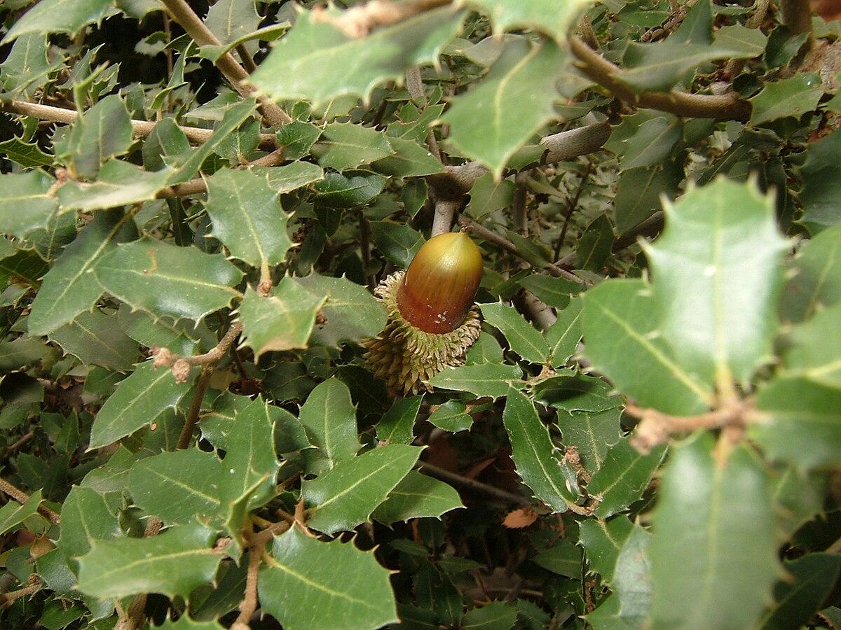 Quercus coccifera wikipedia for Quercia sempreverde