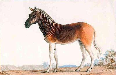 Plemenný hřebec kvaga vezvěřinci veVersailles patřil LudvíkoviXVI. (Vodové barvy na pergamenu, Nicolas Marechal, Paříž, 1793.)