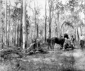 Queensland State Archives 2629 Stump grubbing Beerburrum December 1916.png