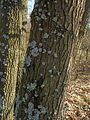 Quercus cerris bark BG 1.jpg