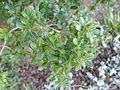 Quercus coccifera (Quercus calliprinos) - Jardín Botánico de Barcelona - Barcelona, Spain - DSC09229.JPG
