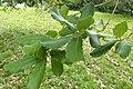 Quercus rugosa kz06.jpg