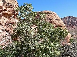 Quercus turbinella - Image: Quercus turbinella 3