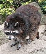 Raccoon (Procyon lotor) 1.jpg