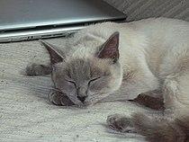 Ragdoll cat.jpg