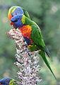 Rainbow lorikeet, Trichoglossus moluccanus, Royal Botanic Gardens, Melbourne, Australia (25096997793).jpg