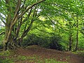 Ramsbury Wood on the edge of the fort - geograph.org.uk - 11760.jpg