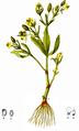 Ranunculus Sceleratus-American Medicinal Plants-1-0029-3.png