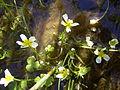 Ranunculus aquatilis plant.jpg