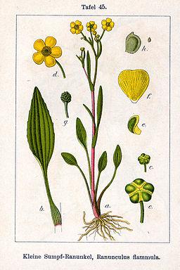 Ranunculus flammula Sturm45