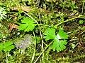 Ranunculus gmelinii 10-eheep (5097362979).jpg