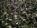 Ranunculus peltatus (Hierba lagunera) (8754941243).jpg