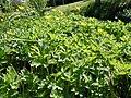 Ranunculus repens (5434508747).jpg