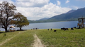 Rara Lake Ox Grazing.png
