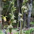 Rattkesnake Plaintain - Flowers (17020644141).jpg