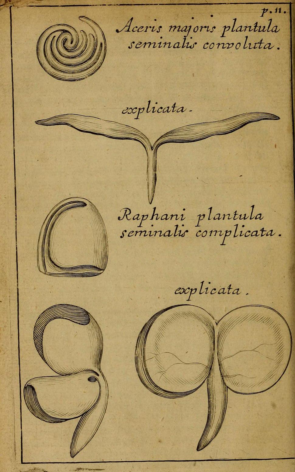 Ray-Malpighi cotyledon