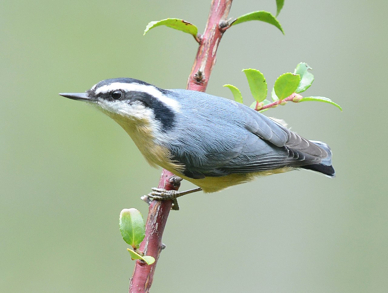 File Red Breasted Nuthatch On Branch Jpg Wikimedia Commons