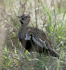 Red-crested Bustard.jpg