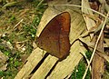Red-disc Bushbrown (Mycalesis oculus).JPG