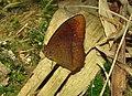Red-disc Bushbrown (Mycalesis oculus).JPG
