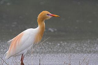 Eastern cattle egret Species of bird