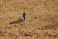Red-wattled lapwing (Vanellus indicus) from BR Hills DSC 3249.jpg