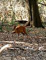 Red Duiker (Cephalophus natalensis) (32282907691).jpg