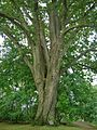 Red Oak Tree in Darien, CT - September 29, 2012.jpg