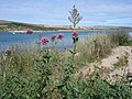 Red Valerian - Centranthus ruber - view across the Camel Estuary - geograph.org.uk - 1172814.jpg