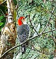 Red bellied Woodpecker (5221202026).jpg