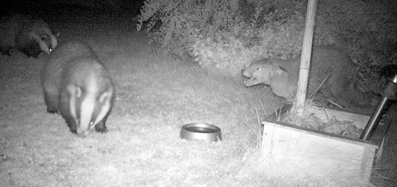 Red fox %26 two badgers.jpg