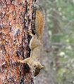 Red squirrel. Tamiasciurus hudsonicus - Flickr - gailhampshire (1).jpg