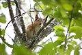 Red squirrel at Alladale.jpg