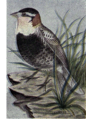 Reed-chestnut-collared-longspur.png