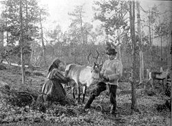 Reindeer being milked by Sami people.