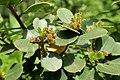 Rhamnus alaternus kz02.jpg