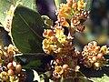 Rhamnus alaternus subsp. myrtifolia FlowersCloseup SierraMadrona.jpg