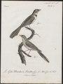 Rhipidura javanica - 1796-1808 - Print - Iconographia Zoologica - Special Collections University of Amsterdam - UBA01 IZ16500083.tif