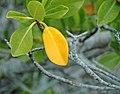 Rhizophora mangle (red mangrove) (San Salvador Island, Bahamas) 4 (15599680570).jpg