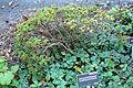 Rhododendron campylogynum - San Francisco Botanical Garden - DSC09936.JPG