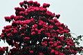 Rhododendron in full bloom (8661222893).jpg