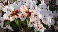 Rhododendron moupinense (6778836810).jpg