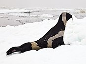 Ribbon-seal-male Josh London NOAAedit (16086029928) (cropped).jpg